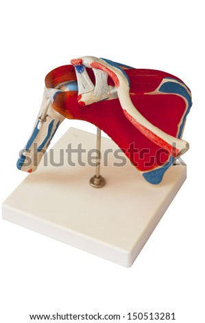 shoulder rotate cuff model on white background - stock photo