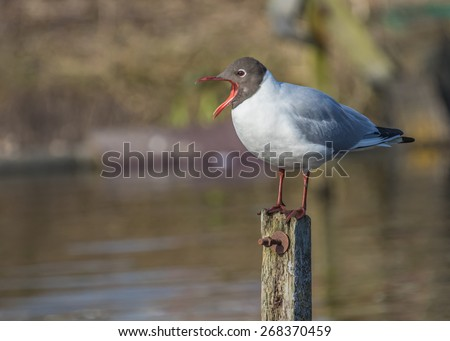 Shouting black-headed gull on a post - stock photo