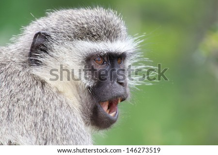Shouting vervet monkey looking sideways with green background, Addo Elephant National Park, South Africa