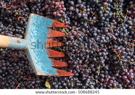Shovel and black fresh grapes collected and ready to go to winery for producing  red wine