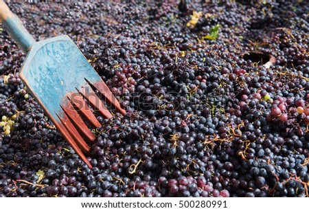 Shovel and black fresh grapes collected and ready to go to winery for producing wine red wine