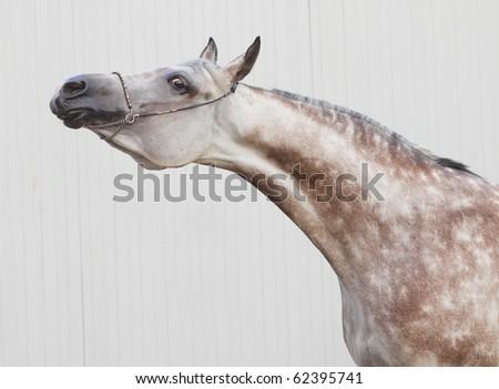show arab horse - stock photo