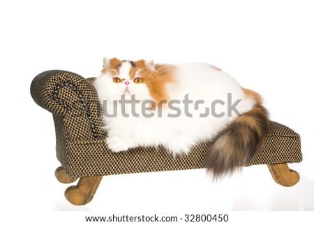 Show champion Calico Persian lying on mini sofa, on white background - stock photo