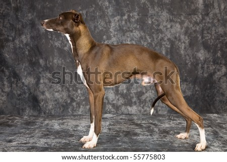 Show champion Italian Greyhound in show stack pose - stock photo