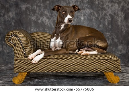Show champion Italian Greyhound on miniature couch - stock photo