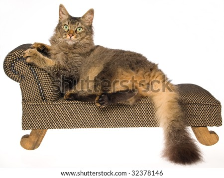 Show champion La Perm cat on miniature brown chaise, on white background - stock photo