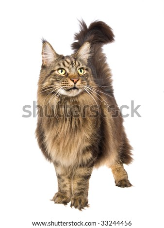 Show champion Maine Coon cat on white background - stock photo