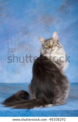 Show Champion Maine Coon on blue background - stock photo