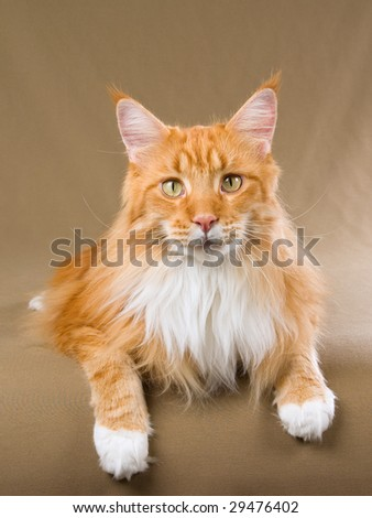 Show champion Maine Coon red tabby with white on khaki background - stock photo