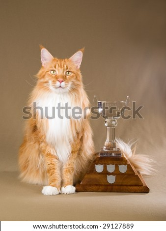 Show champion Maine Coon with trophy - stock photo