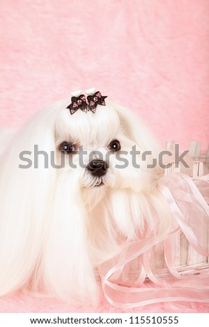 Show champion Maltese dog sitting in pink basket on pink background