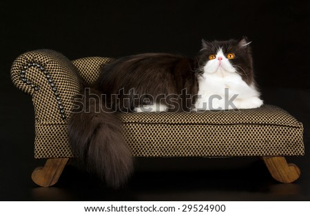 Show champion Persian black and white copper eyed on miniature brown sofa chaise couch on black background - stock photo