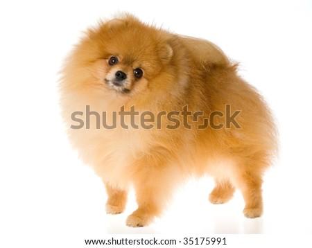 Show champion Pomeranian on white background - stock photo