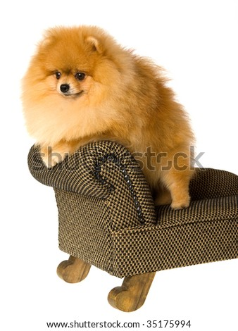 Show champion Pomeranian standing on miniature chair, on white background - stock photo