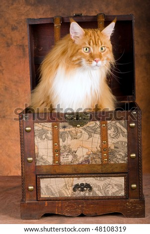 Show champion Red Maine Coon inside steamer trunk, on brown mottled background - stock photo