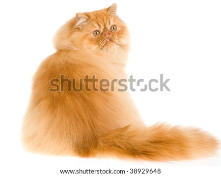 Show champion red Persian on white background - stock photo