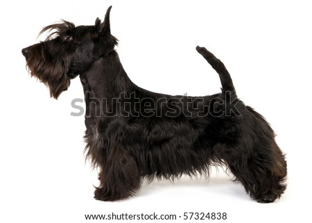 Show Champion Scottish Terrier in show stack stand on white background - stock photo