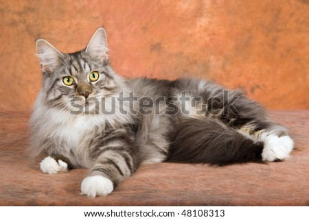 Show champion silver Maine Coon on brown mottled background - stock photo