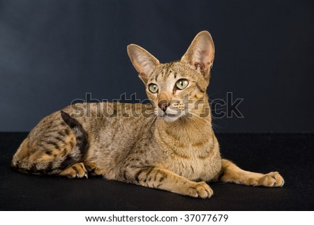 Show champion silver spotted lynx Oriental on black background - stock photo