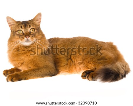 Show champion Somali lying down on white background - stock photo