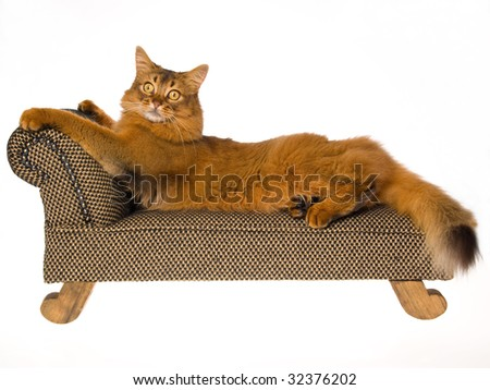 Show champion Somali stretched out on miniature brown chaise, on white background - stock photo
