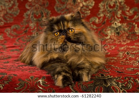 Show Champion tortie Persian - stock photo