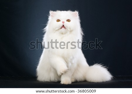 Show champion white Persian on black background - stock photo