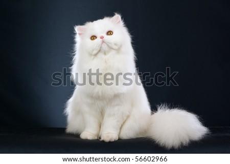 Show Champion white Persian on black background - stock photo