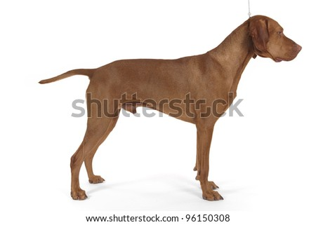 show dog stacked on white background - stock photo