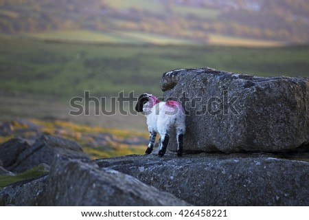 Showing sheep on Dartmoor, Devon UK - stock photo
