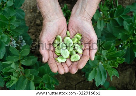 showing the hands of a farmer beans in Banyoles - stock photo