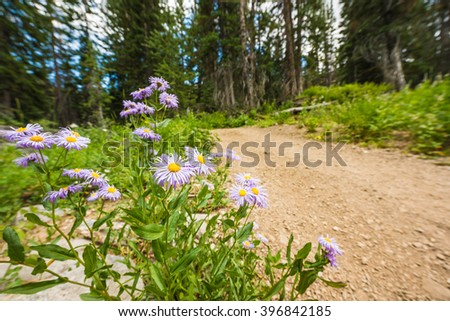 Showy Daisy/Fleabane wildflowers near a dirt road in alpine forest in Albion Basin close to Salt Lake City - stock photo