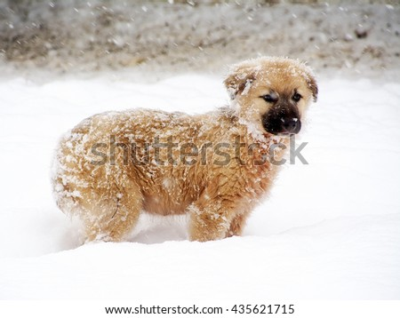 Shpherd puppy dog in the snow