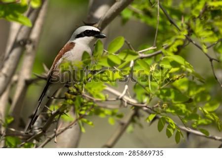 Shrike bird - stock photo