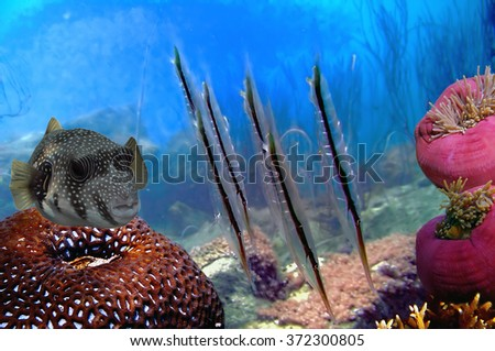Shrimpfish at coral block, Koh Chang island, Thailand - stock photo