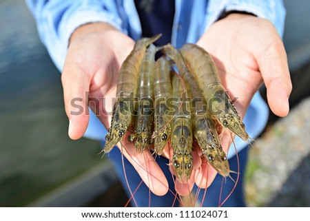 shrimps on hand in front of aquaculture pond - stock photo