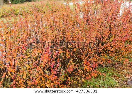 Shrub with colorful leaves