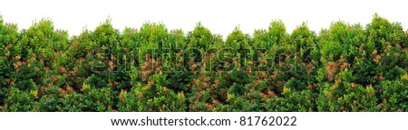Shrub with mix green and red foliage - stock photo