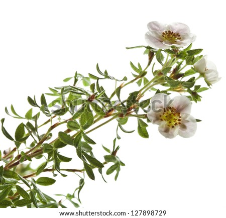 Shrubby Cinquefoil , isolated on white - stock photo