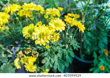 Shrubby tree with yellow flowers Yellow flowers in full bloom in the garden plots. - stock photo