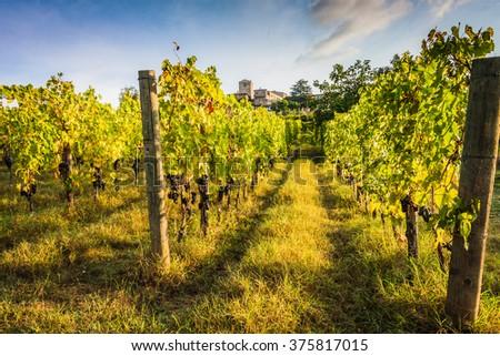 Shrubs grapes before harvest - stock photo