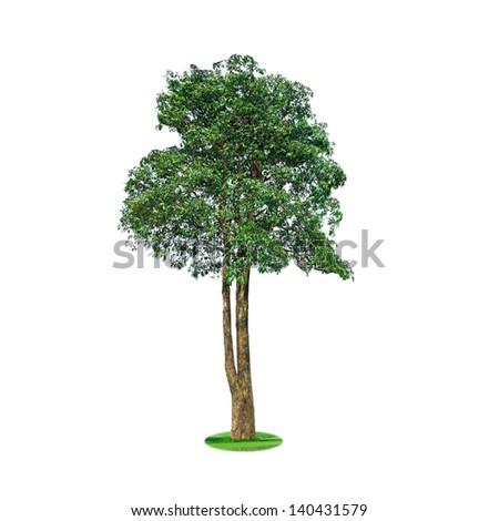 Shrubs tree with heart shaped leaves on the green grass,Isolated on white background.