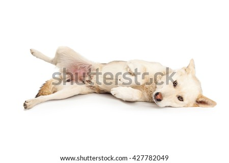 Shy and submissive large mixed breed dog laying onside over white background