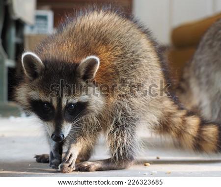 Shy Baby Raccoon - stock photo
