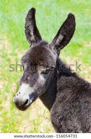 shy donkey - stock photo