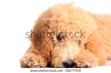 Shy golden doodle puppy, isolated on white. - stock photo