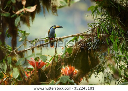 Shy high altitude andean colorful Plate-billed Mountain Toucan Andigena laminirostris perched on mossy branch among bromeliad flowers in typical environment of cloud forest.  - stock photo