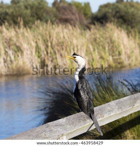 shy little pied cormorant microcarbo melanoleucos with a yellow bill perched on a wooden rail by