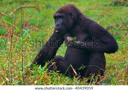 Shy looking Gorilla sitting in the grass feeling caught