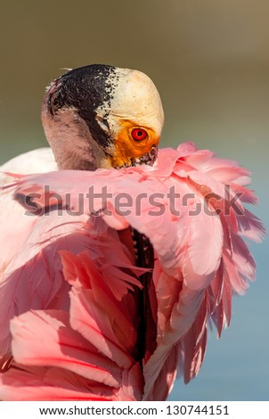Shy Roseate Spoonbill (Platalea ajaja) hiding her beak under her feathers. Patagonia, Argentina, South America. - stock photo
